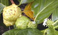 Noni Fruit, Morinda citrifolia