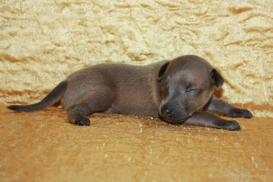 Italian Greyhound Puppies Piccolo Levriero Italiano
