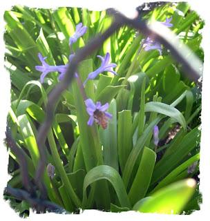 Hyacinths in my garden
