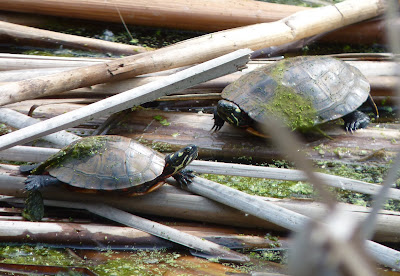 eastern painted turtles