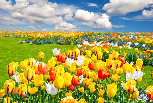 Ảnh đẹp cuộc sống: Bộ hình nền đẹp về cánh đồng hoa Tulip 4