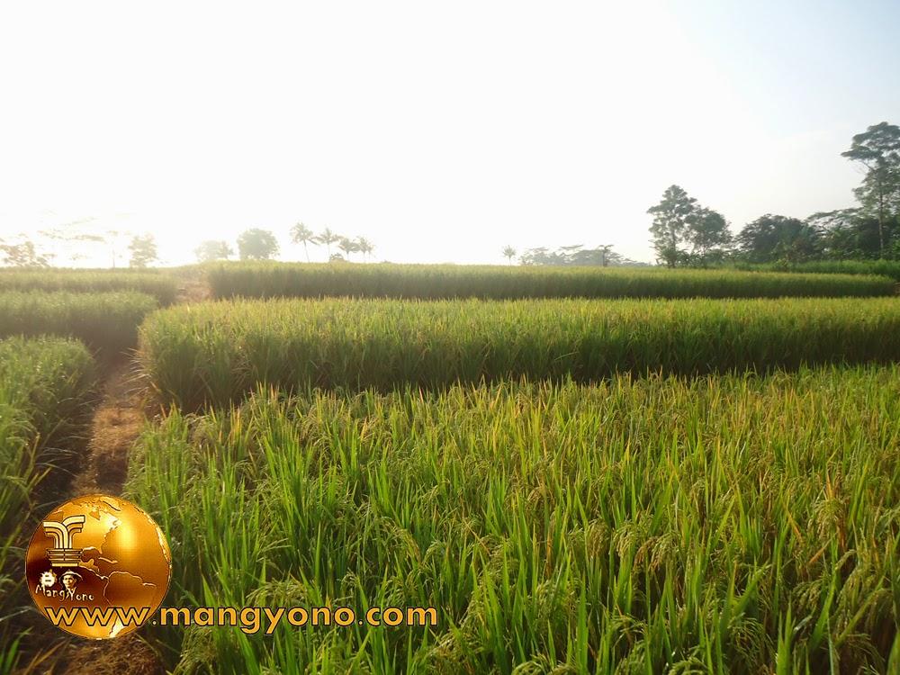FOTO : Tanaman padi saya di blok Tegalsungsang sudah mulai menguning.