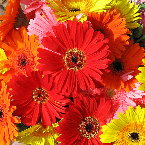 Good Witches Magickal Flowers And Herbs Gerber Daisy