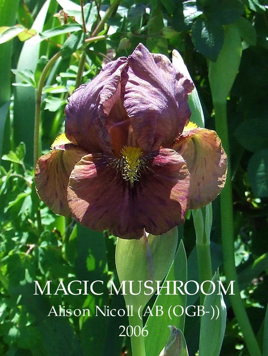 New zealand bred aril iris magic mushroom heritage irises new zealand bred aril iris magic mushroom izmirmasajfo