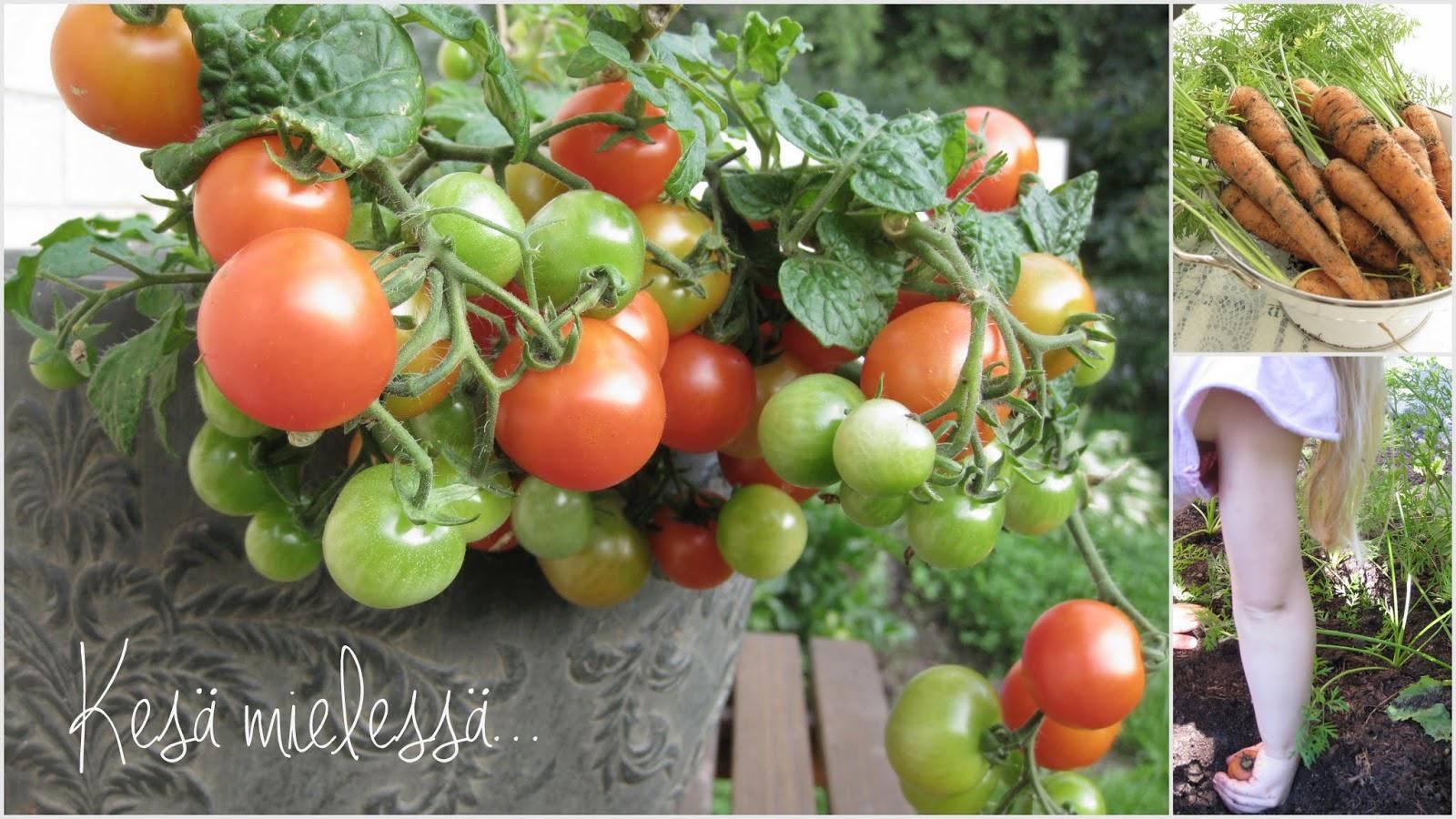 kirsikkatomaatti ruukussa, oman pihan porkkanat, lapsi kasvimaa, porkkanan kasvatus pienellä kasvimaalla