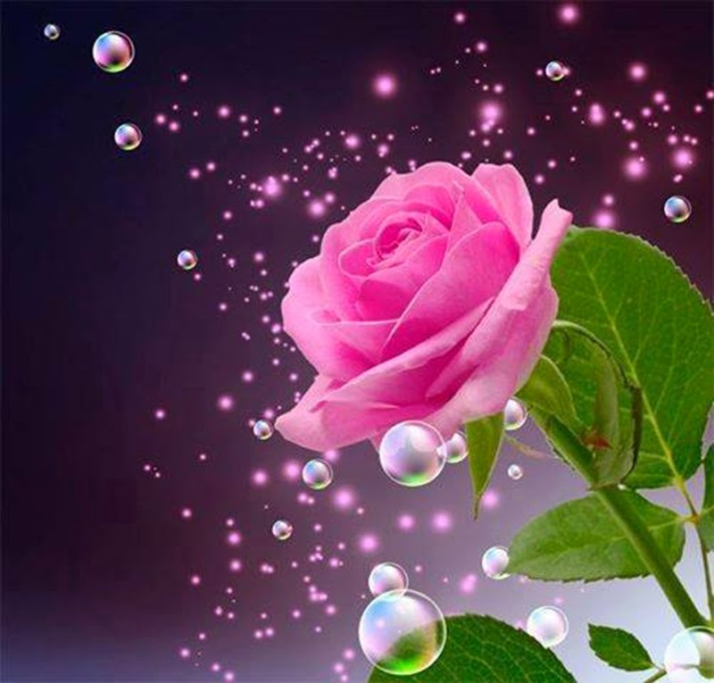Beautiful Natural Pink Rose Flowers Images Wallpapers