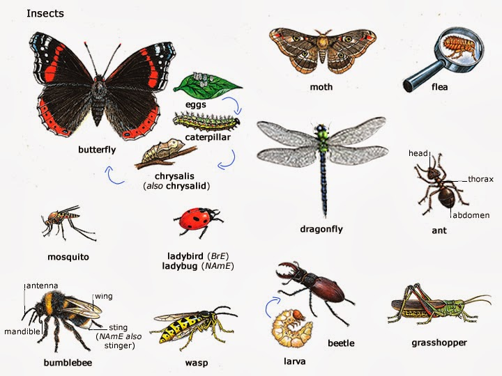 major anatomical features of insects worksheet 2005-01-14 lab 5 - arthropods introduction to arthropods  usually results in an arthropod body that consists of three major sections, a head, thorax,  insects can open and close these.