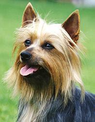 caim terrier dog puppy breeds hound chien hund perro canine animals domestics maskotak pets Haustiere huisdieren animaux de compagnie husdjur info