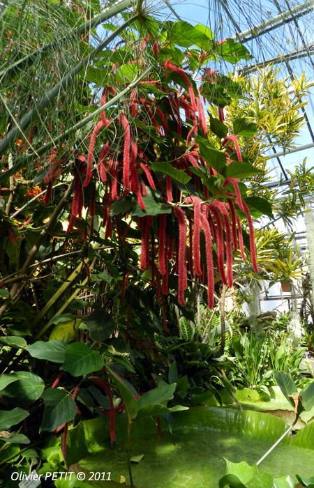 VILLERS-LES-NANCY (54) - Les serres du jardin botanique du Montet-Amarantes rouges
