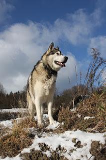 Alaskan Malamute Dog Pictures 5