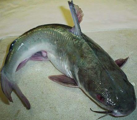 Peluang Usaha Cara Budidaya Ikan Patin Image