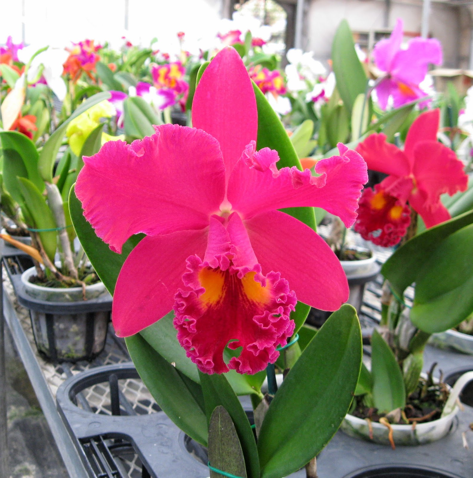 Rsc. Ahchung ruby Taiyoung Red Star orchid flowers
