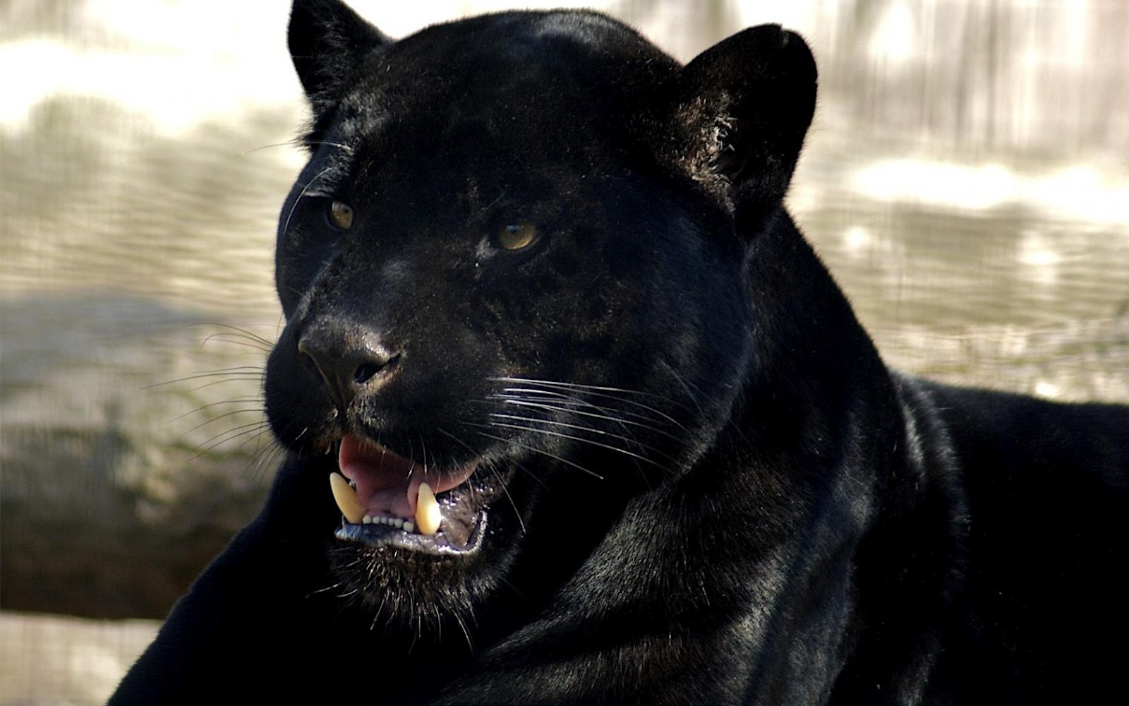 http://1.bp.blogspot.com/-q6Heapf1RQM/T_k8GNLEEZI/AAAAAAAACdg/l0DrVbNpd88/s1600/Black_Panther_Sharp_Teeth_HD_Desktop_Wallpaper-HidefWall.Blogspot.Com.jpg