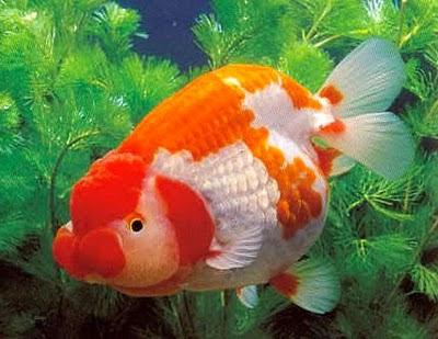 Budidaya Ikan Hias Mas Koki Mutiara
