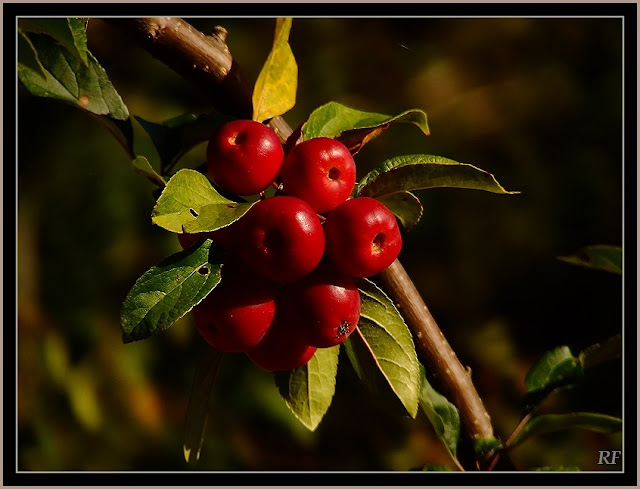 Autumn Berries5