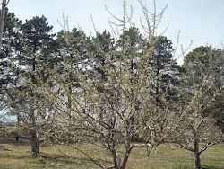 The monastery orchard beginning to bloom.