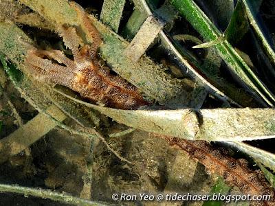 synaptid sea cucumber (Opheodesoma sp.)