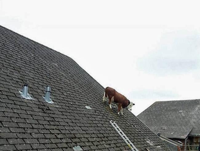 Lembu terperangkap di atas bumbung