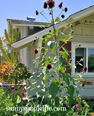 Growing Sunflowers: Tips and My Favorites For 2015, tall multi branched sunflowers, red velvet sunflower, sunflowers for cutting