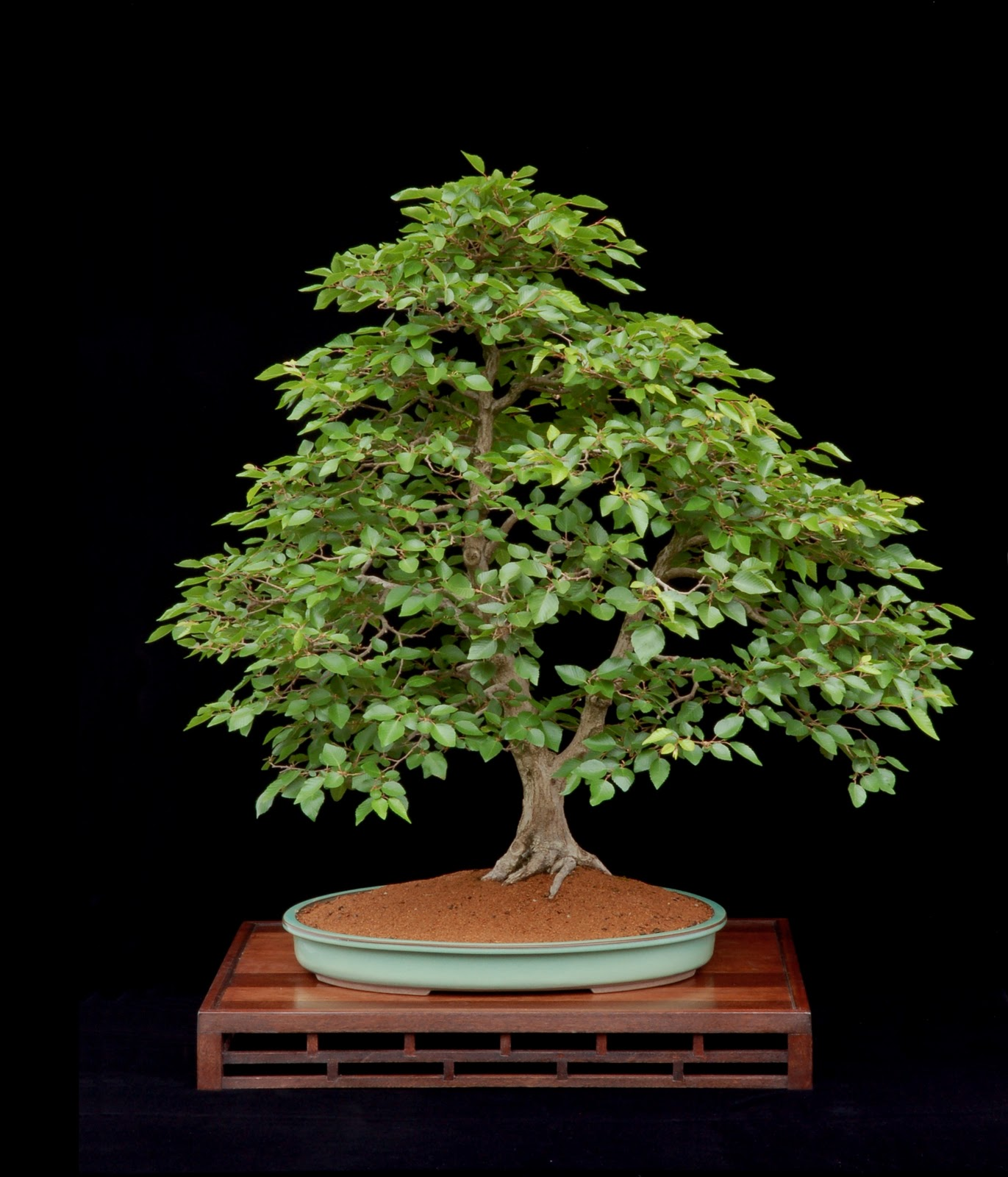 The Treeherd Naturalistic Bonsai