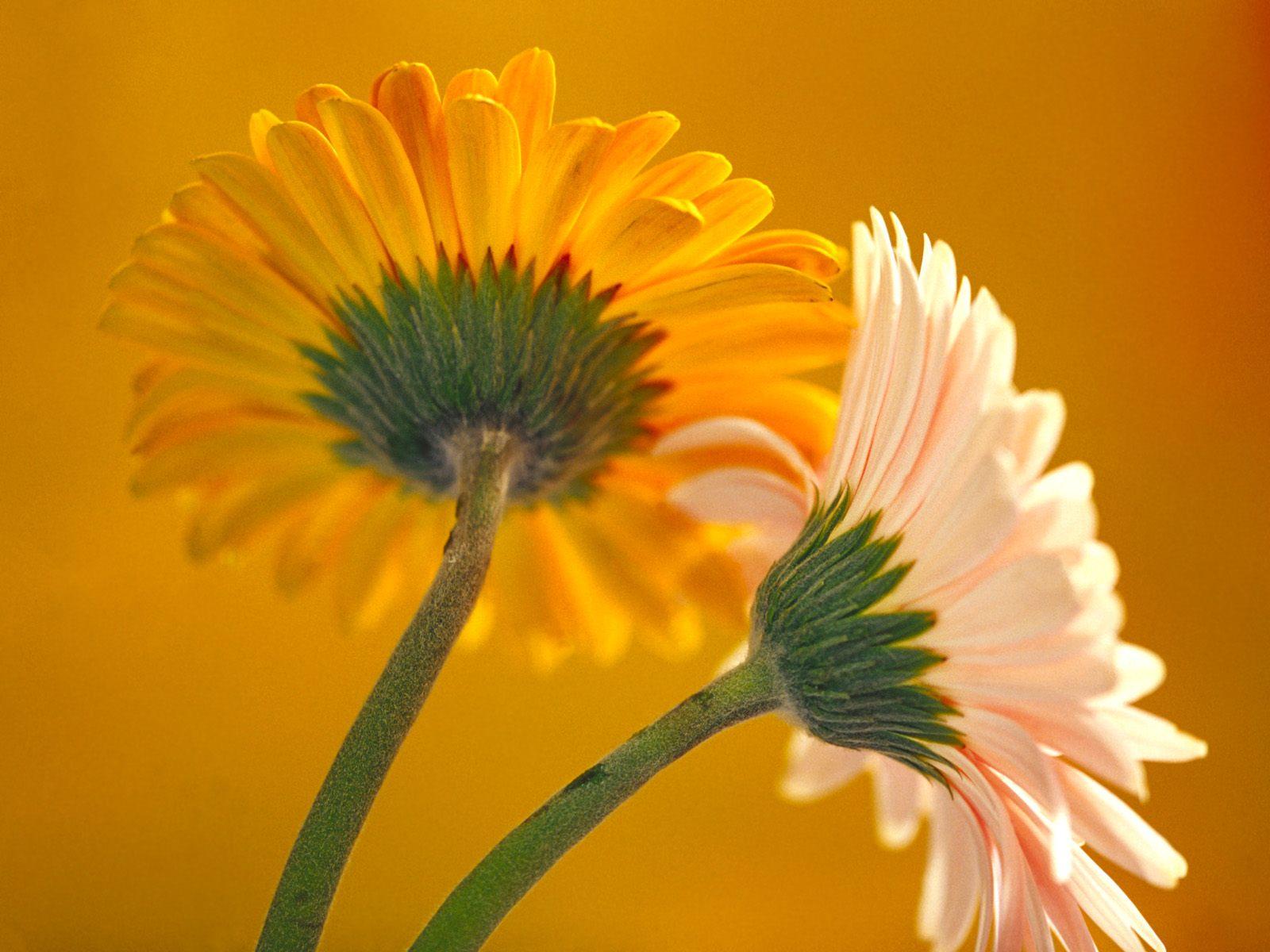 http://1.bp.blogspot.com/-q7auCDw5dt0/UUbUElxIlBI/AAAAAAAADJU/b81GIjLRGCs/s1600/flowers_Gerbera_Daisies_1600x1200_wallpaper.jpg