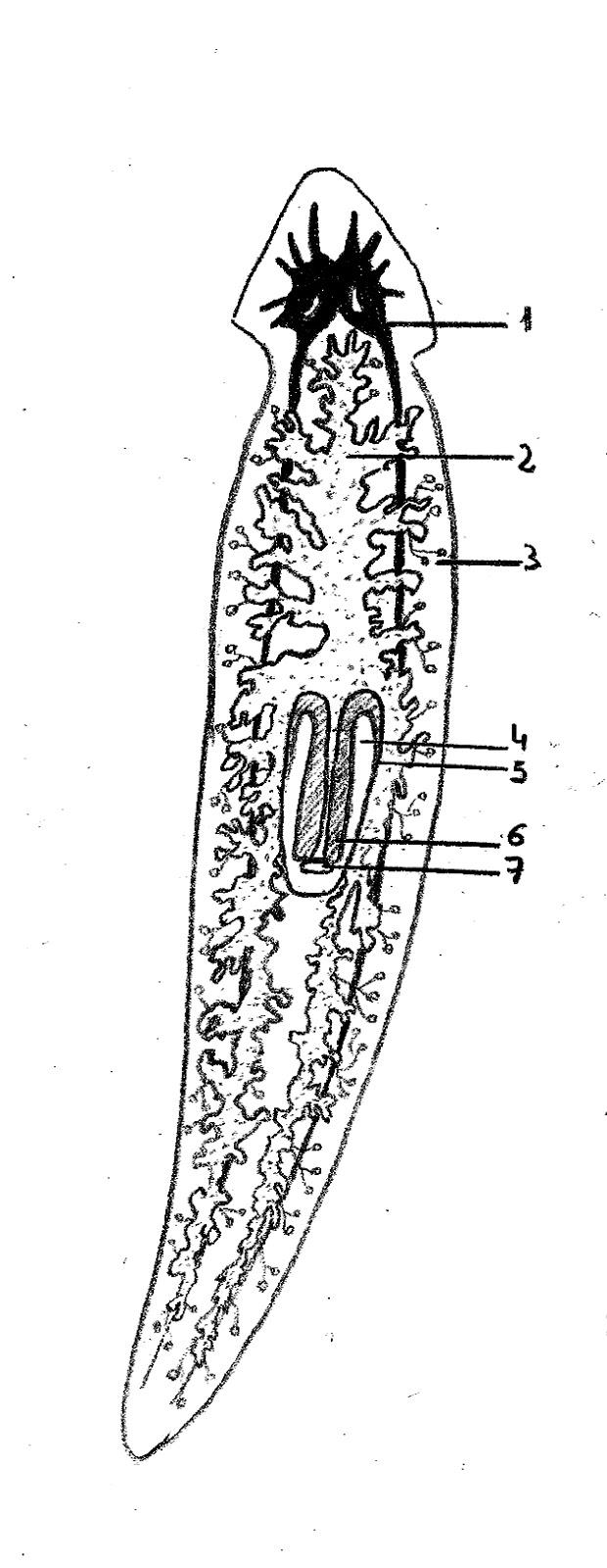 Aquasnail: Esquemas Anatómicos: Planarias
