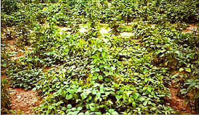 Glycine crossed with soybean crop agriculture fertility hormone