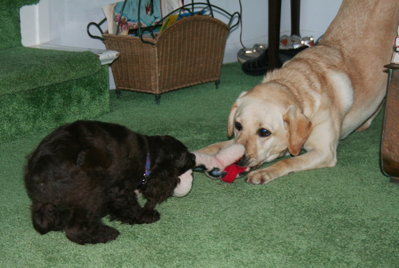 cabana and margie biting opposite ends of a stuffed snake in a feisty game of tug