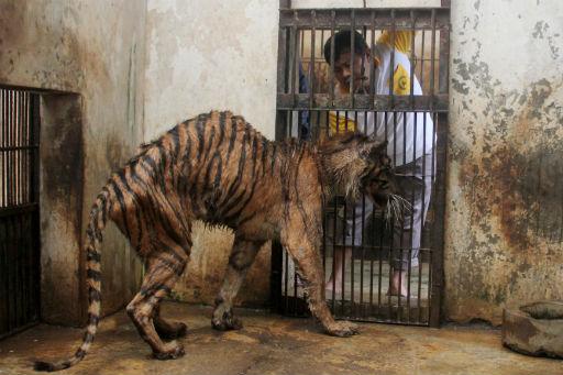 Zoo News Digest: The Tiger in Surabaya Zoo