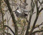 Deux pigeons s'aimaient...