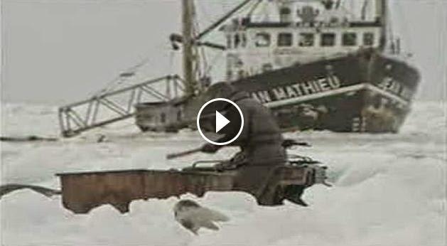 Matanza de focas en Canada