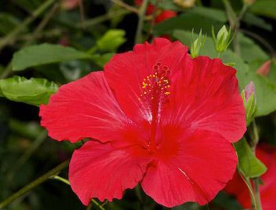 Beauty Hibiscus Flower