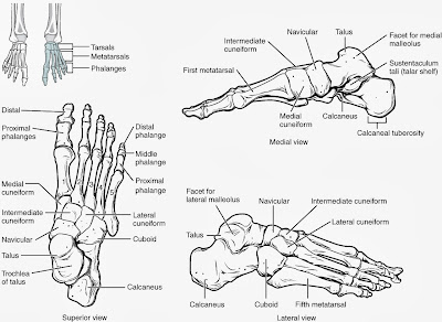 Bottom Foot Anatomy Bones
