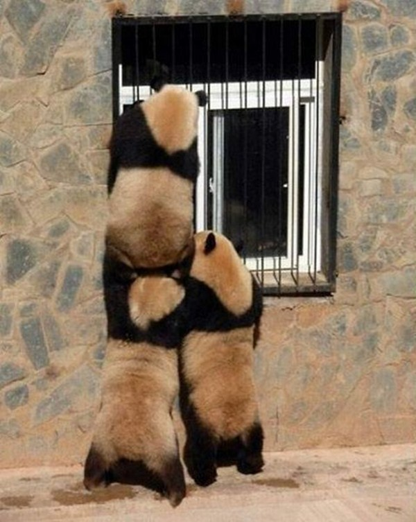 pandas teamwork, funny animal pictures of the week