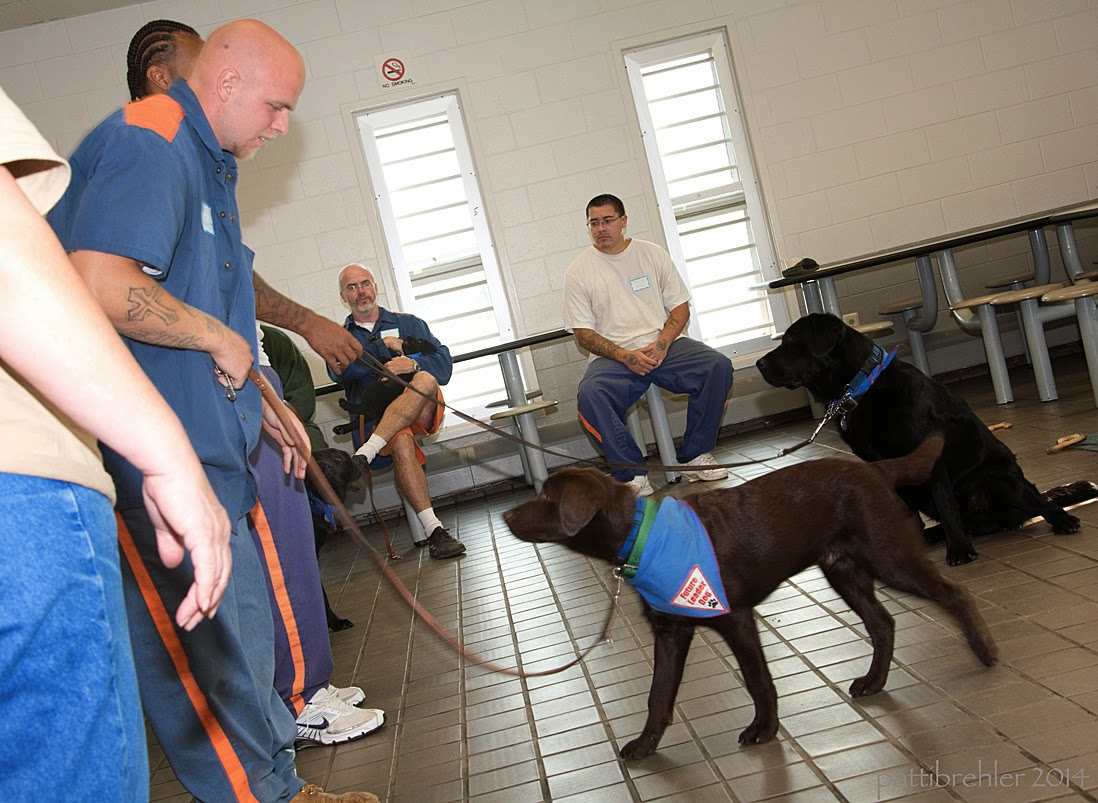 Two men in blue prison uniforms stand on the left side holding the leashes of two labs that are on the right. The man closest to the camera is bald and is looking down at a young chocolate lab. The lab is walking toward the man and looking at him, he is also wearing the blue Future Leader Dog bandana. The second man is behind the first man and is an african american, although he is mostly out of sight. The leash he holds is attached to a young black lab that is sitting further to the right looking at him. In the background sitting in front of two large windows are two men.