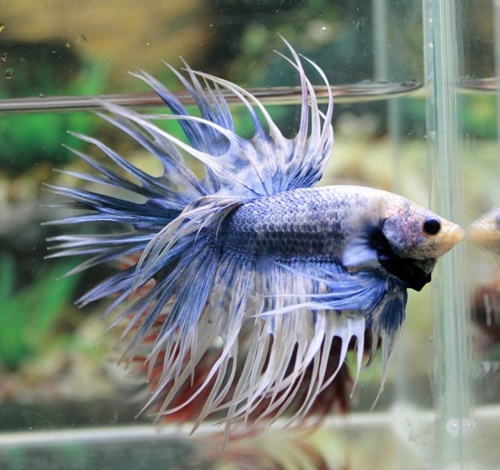 Kiwiii blogger i want a betta fish for How much is a beta fish