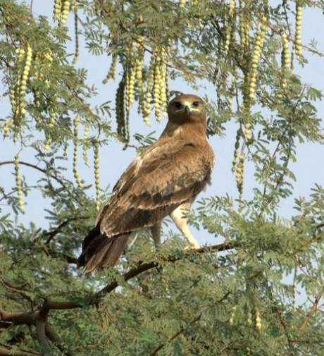 Image of spotted eagle - Clanga hastata
