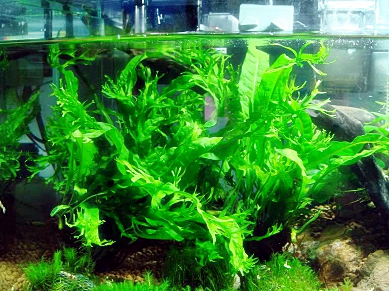 Tanaman aquascape : Rhizome ~ Informasi Dunia Air
