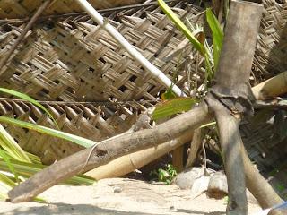 Lézard au Sri Lanka