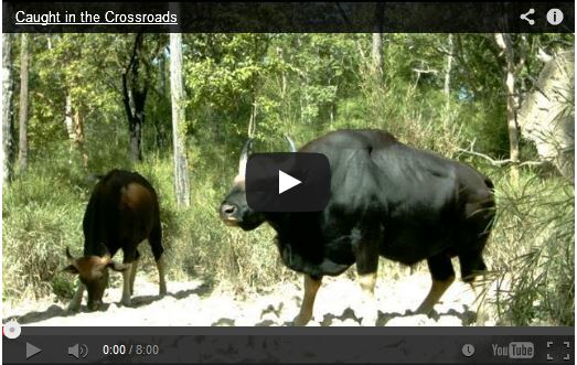 http://kimedia.blogspot.com/2014/06/wild-cattle-spotted-in-forest.html