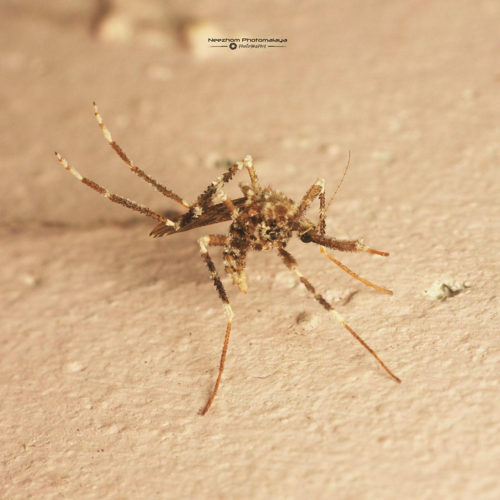 Spesis Nyamuk Semak masuk dalam Bilik