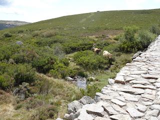 Vacas sueltas en Laguna Peces