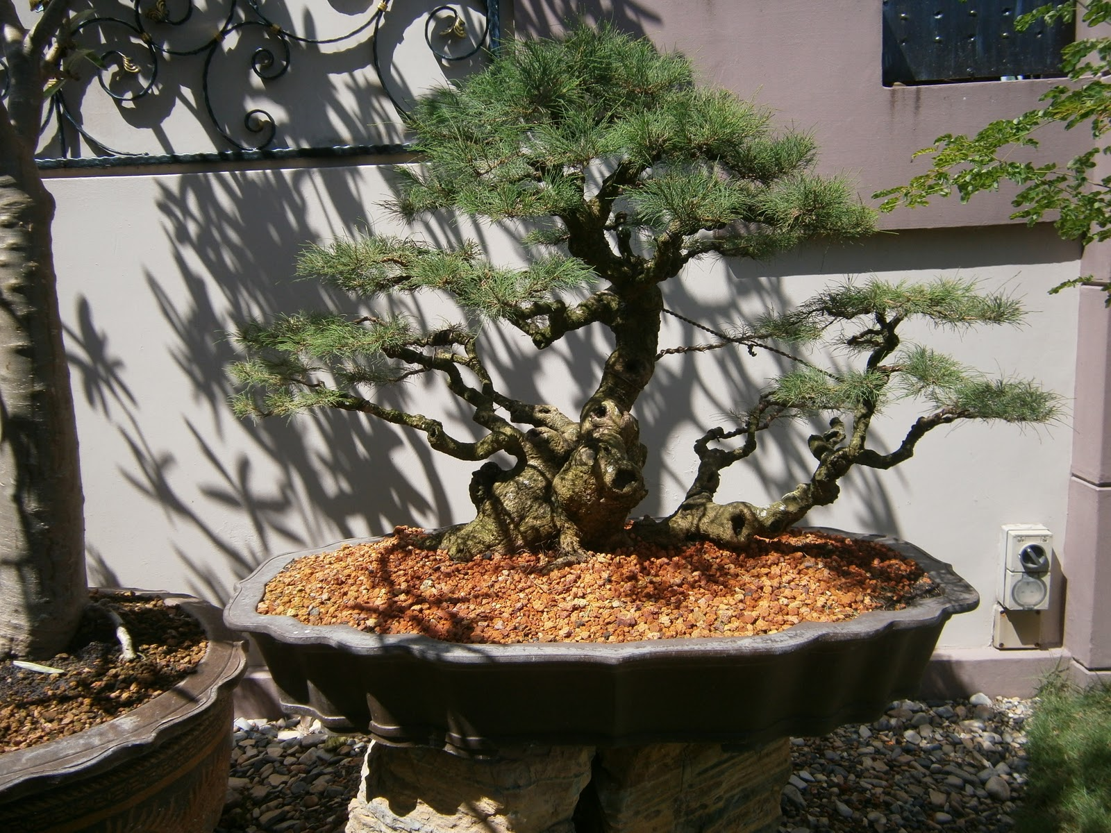Bonsai Malaysia JB Lee Contact Mr Wong Bengyewwongyahoocom