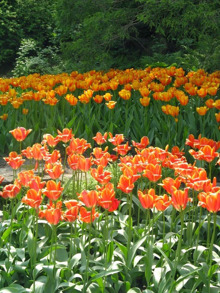 Royal Botanical Gardens orange tulips by garden muses-not another Toronto gardening blog