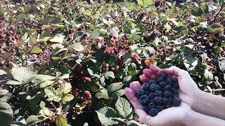 It's Blackberry Season in Elk Grove