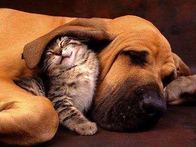 gatinho na orelha do cachorro, cão protege gato, gatinho amigo de cão, cão e gato amigos, cat and dog sleeping, awesome, lindos, fofos, gatinhos, cachorrinho, amor