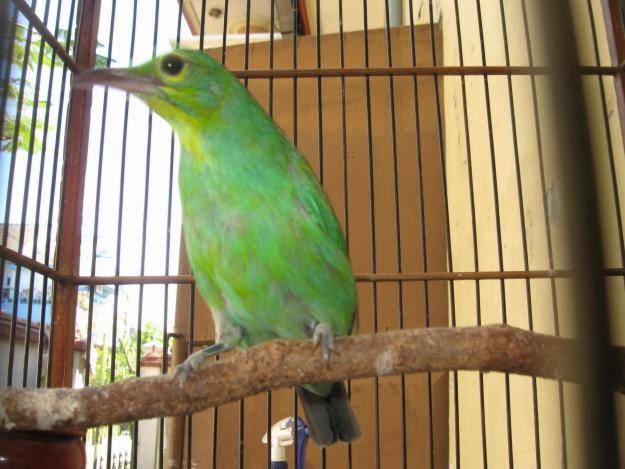 Info mengenai Foto Burung Cucak Hijau Gambar Aneka Burung Cucak Ijo ...