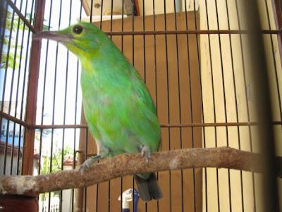 burung cucak hijau gambar gambar burung cucak ijo