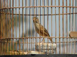 Burung Branjangan :Tips Merawat Burung Branjangan Bagi Pemula