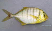 Golden Trevally,Golden Jack